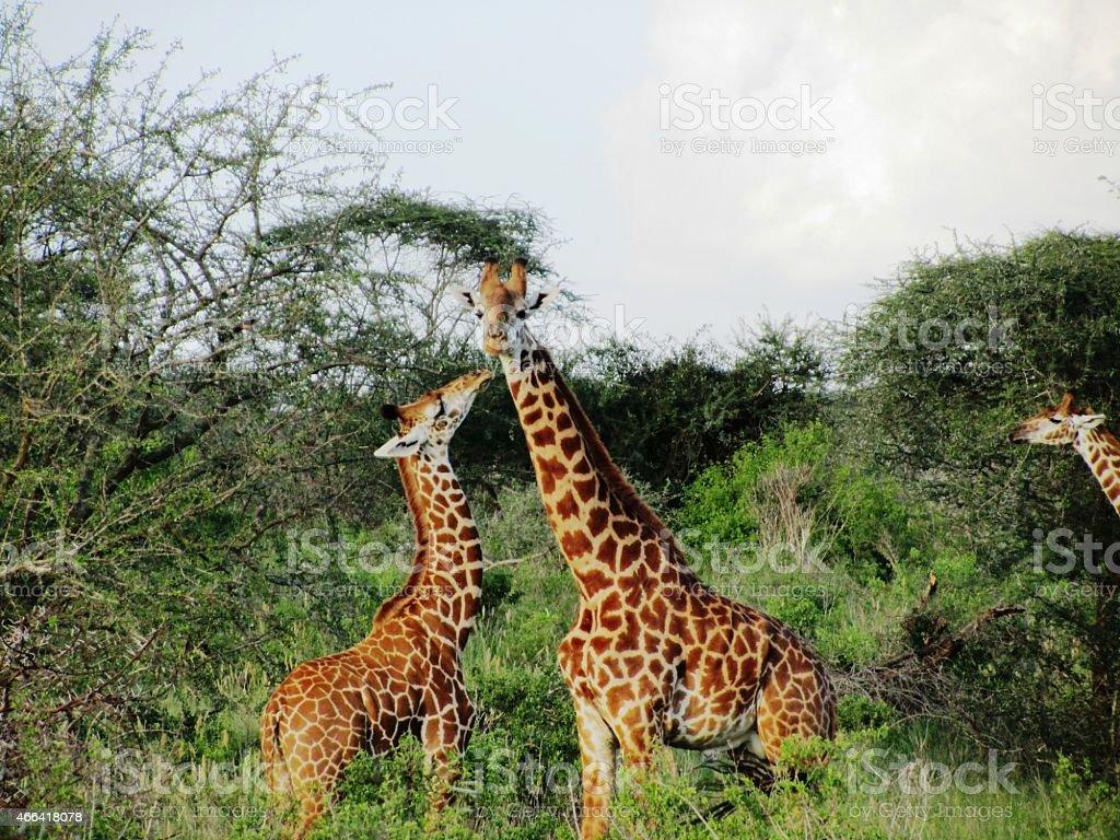 Giraffes child kisses mum in the Masai Mara in Kenya stock photo