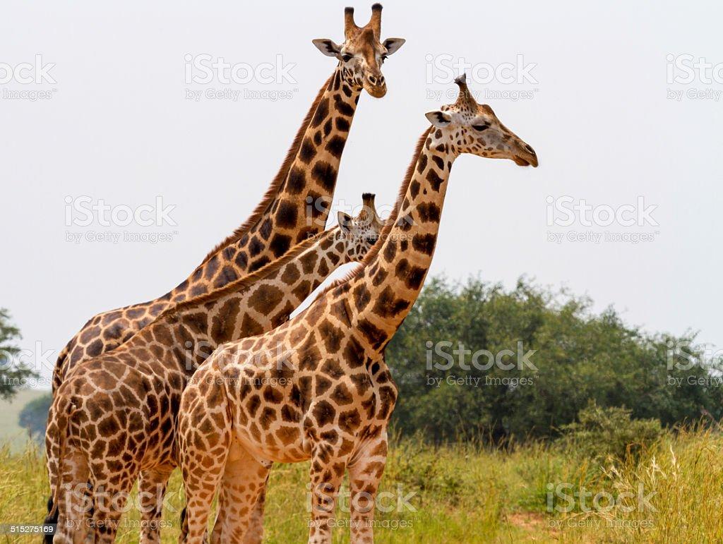 Giraffes crossing a road stock photo