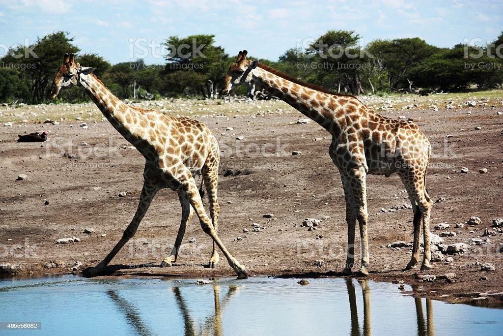 Giraffes drinking at waterhole in Etosha National Park Namibia stock photo