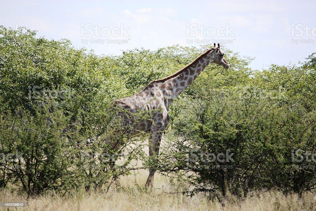 Giraffes eating in Etosha National Park Namibia stock photo
