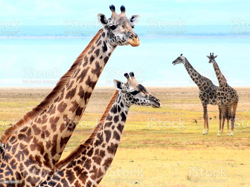 Giraffe's family near lake stock photo
