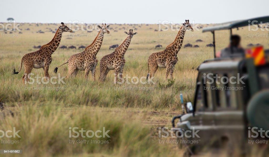 Troupeau de girafes savannah - Photo