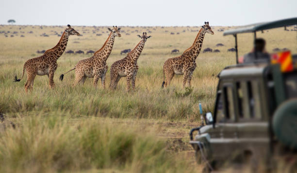 giraffes herd in savannah - safari stock photos and pictures