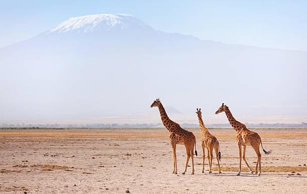 Giraffes in Amboseli – Foto