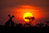 Two Masai Giraffes (giraffa tippelskirchi) next to a typical Acacia tree in front of a spectacular African sunset. Location: Selous Game Reserve, Tanzania/East Africa. Shot in wildlife.