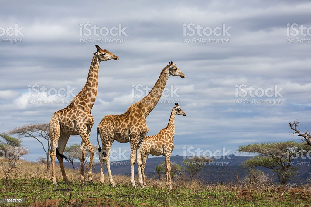giraffes in game reserve stock photo