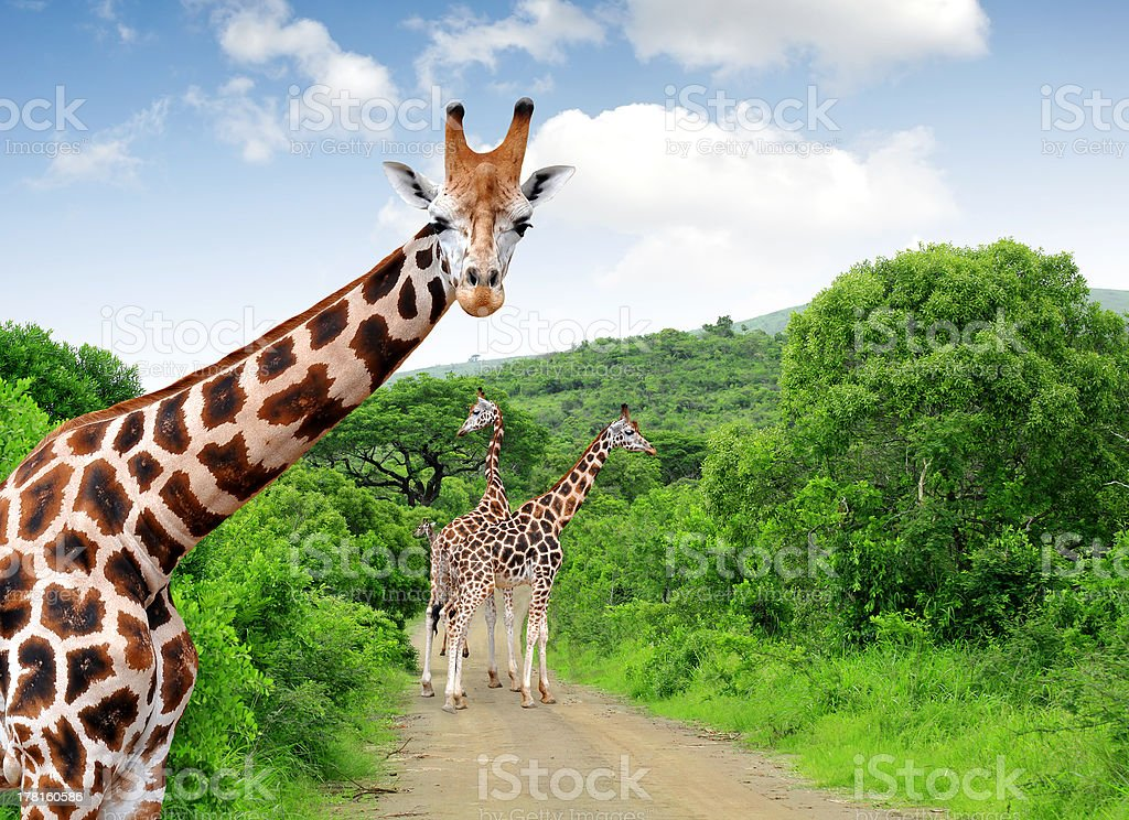 Giraffes in Kruger park stock photo