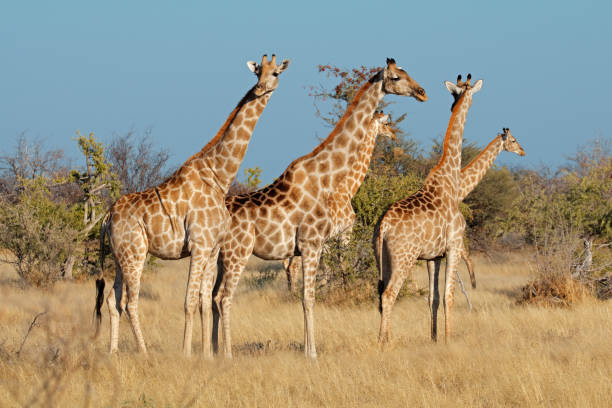 ecology of giraffa camelopardalis essay Title: giraffes (giraffa camelopardalis): a bibliography giraffes giraffa camelopardalis: the feeding ecology of a selective browser.