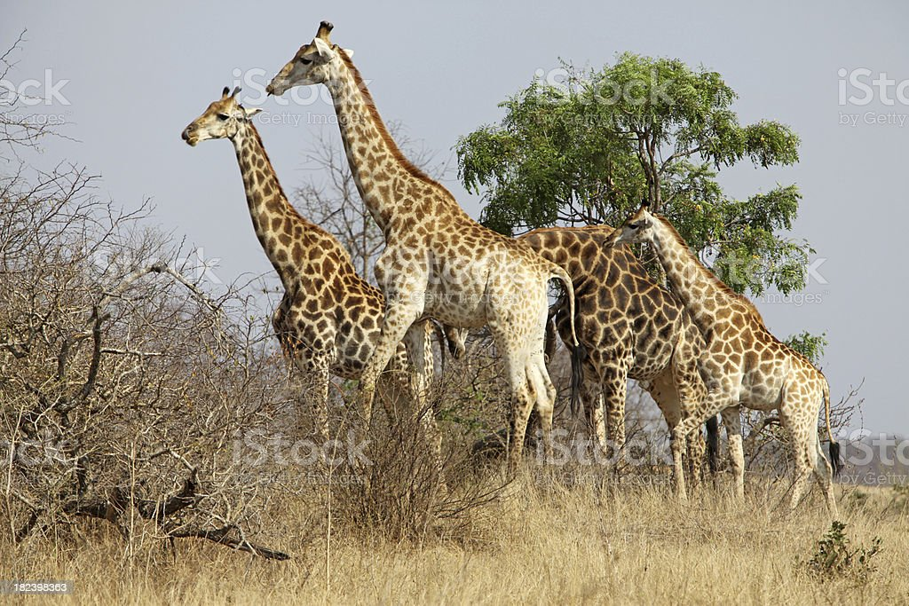 Giraffes In Safari Park royalty-free stock photo