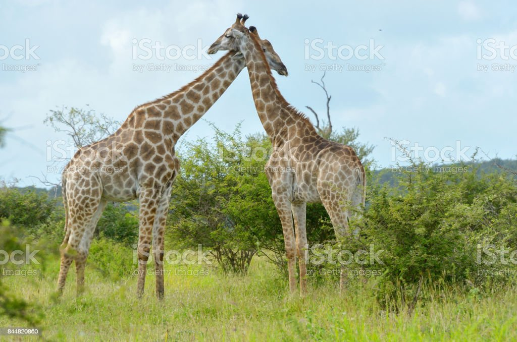 Giraffes in savanna, Kruger national park, South Africa stock photo