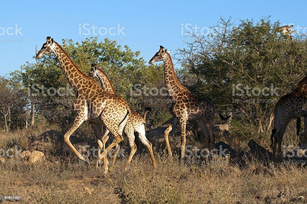 Giraffes in South Africa royaltyfri bildbanksbilder