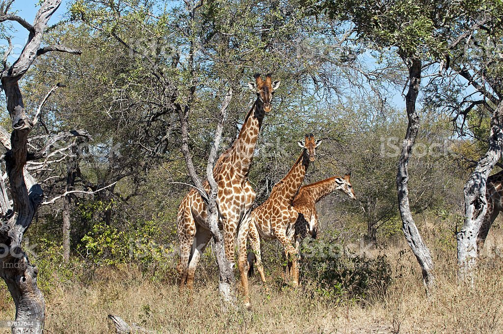 Giraffes in South Africa royaltyfri bildbanksbilder