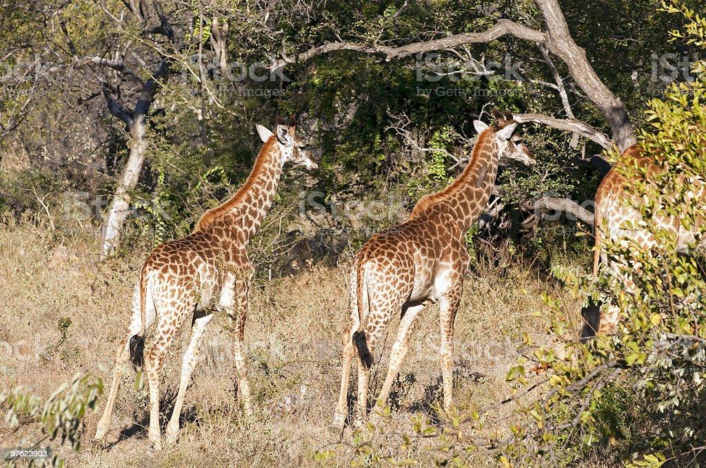 Girafes en Afrique du Sud photo libre de droits