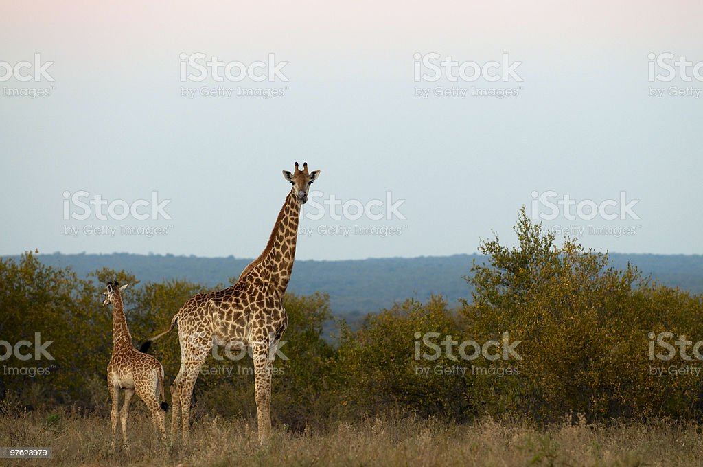 Giraffes in South Africa royalty-free stock photo