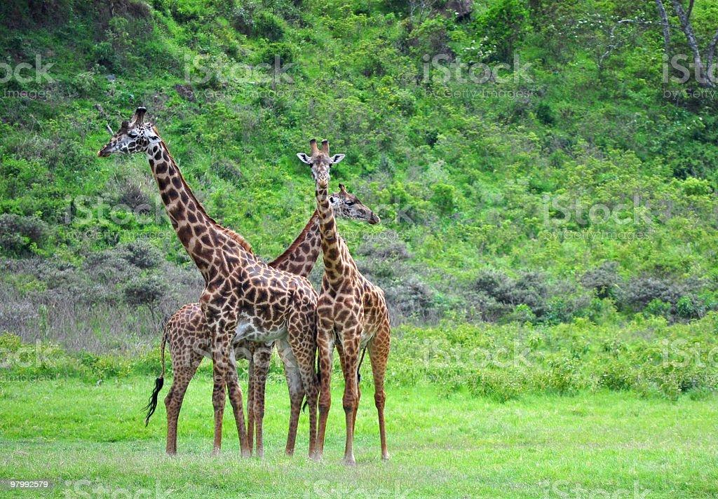 Giraffes in Tanzania royalty-free stock photo