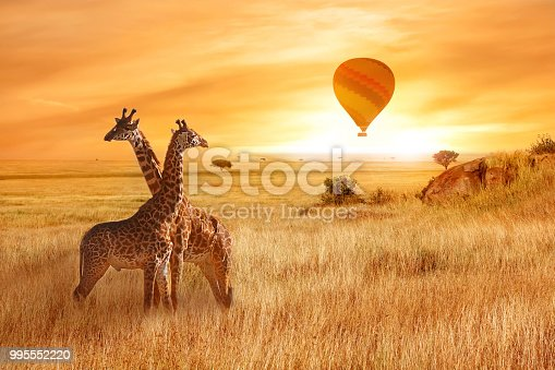istock Giraffes in the African savanna against the background of the orange sunset. Flight of a balloon in the sky above the savanna. Africa. Tanzania. 995552220