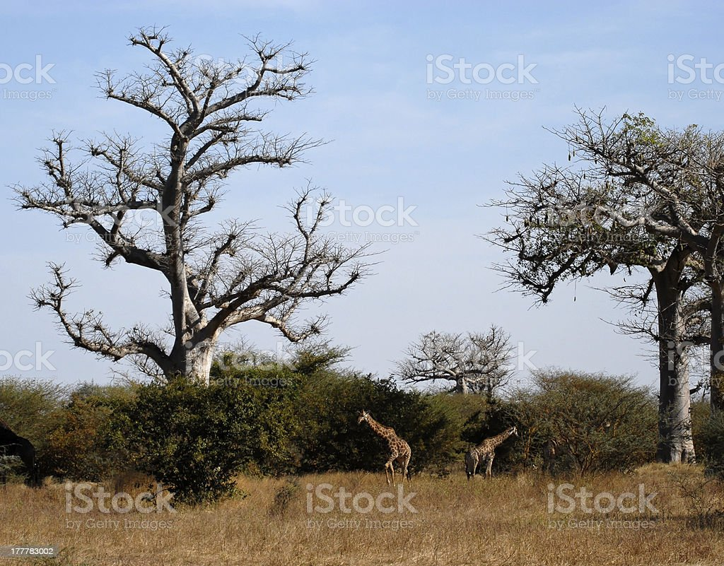 Giraffes in the African Savannah stock photo