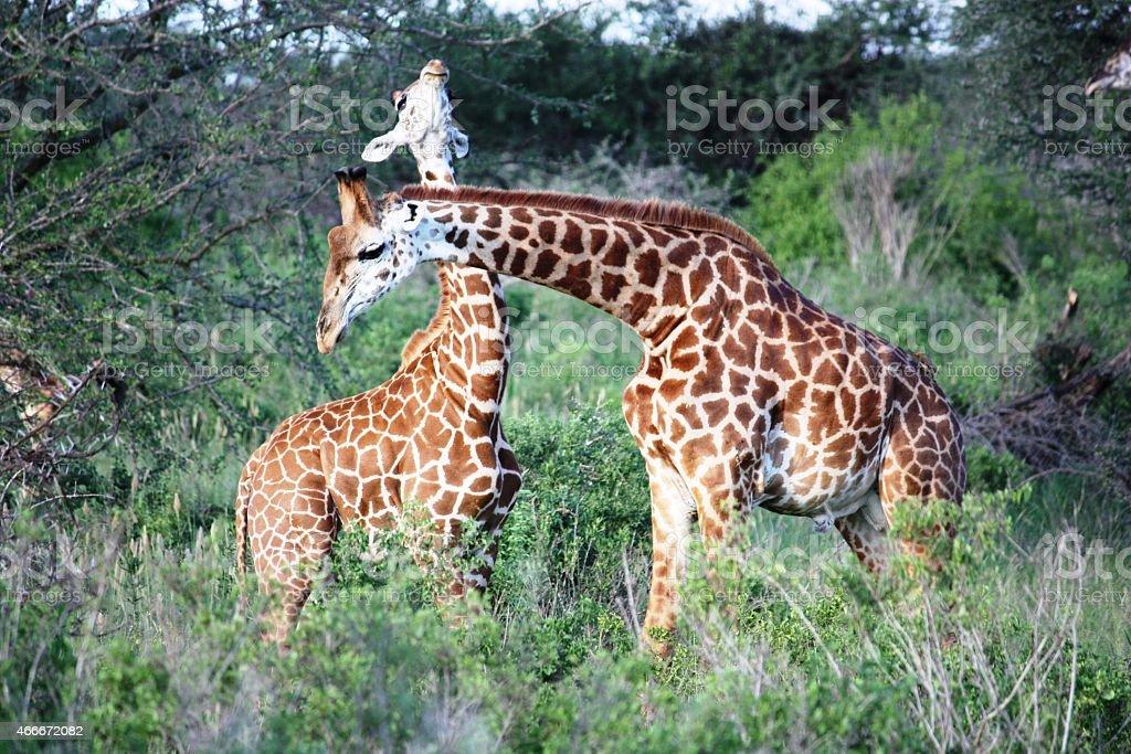 Giraffes in the Masai Mara Kenya stock photo