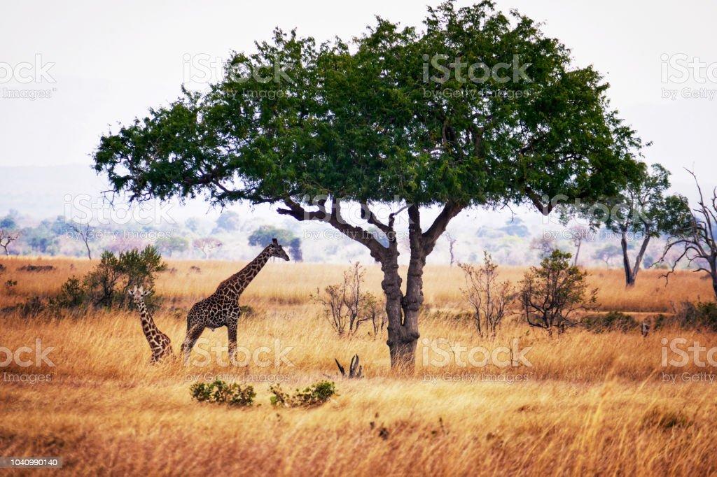 Giraffes in the Mikumi National Park in Tanzania stock photo