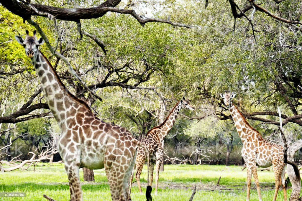 Giraffes in the Selous Game Reserve in Tanzania stock photo
