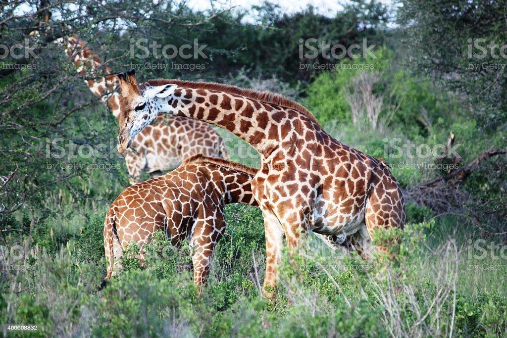 Giraffes, large giraffe herd in Masai Mara Kenya stock photo