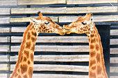 Two giraffes kissing, profile