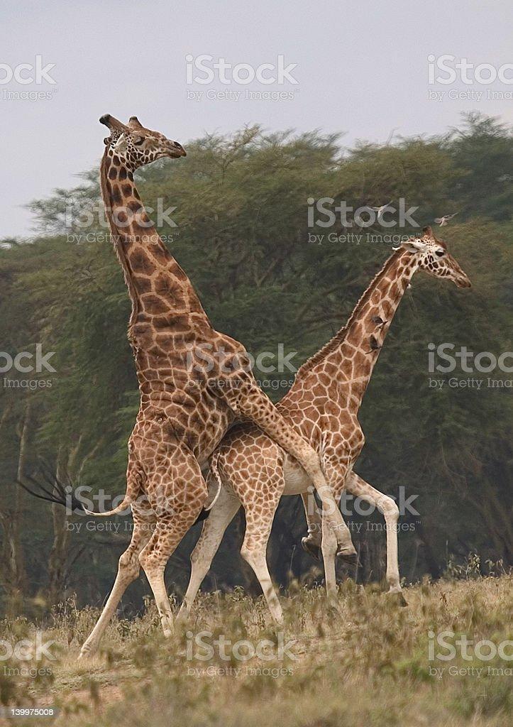 Видео секс у жирафов