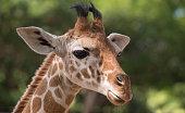 Portrait of a giraffe at zoo.