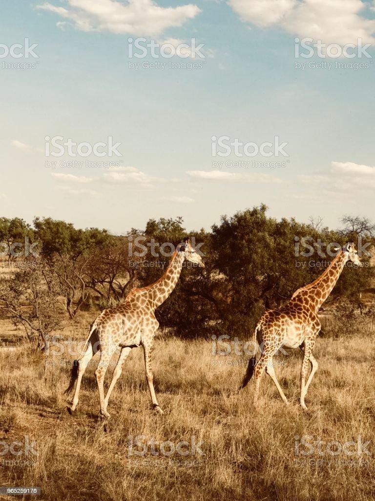 Giraffes on the Move zbiór zdjęć royalty-free