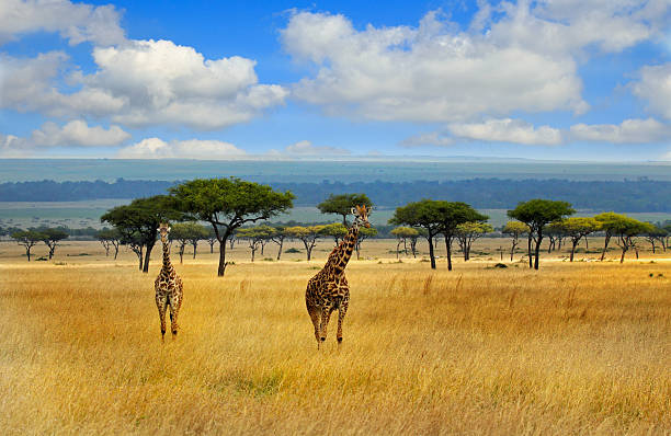 Giraffes on the open plains in the masai mara Giraffes strolling on the open savannah in the masai mara -Kenya with a blue cloudy sky and mountain background masai mara national reserve stock pictures, royalty-free photos & images