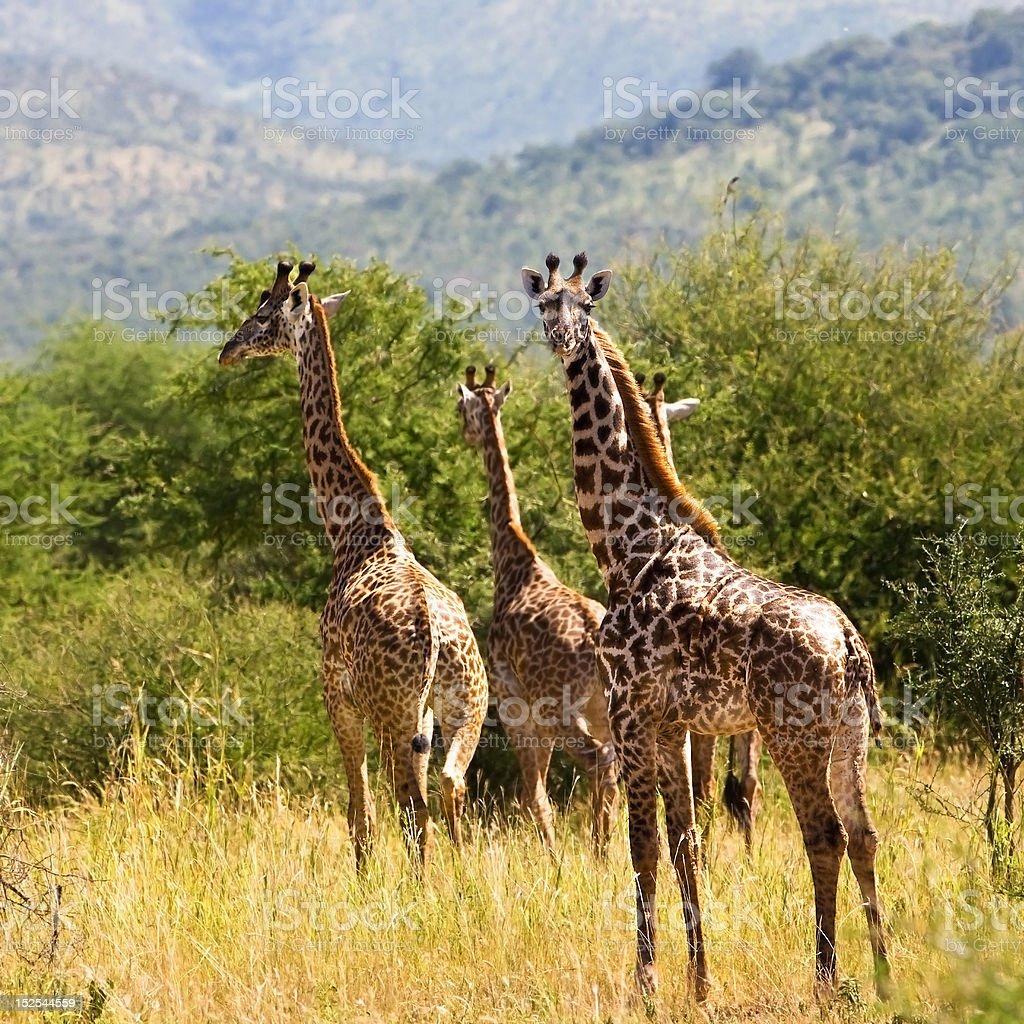 Giraffes (Giraffa camelopardalis) royalty-free stock photo