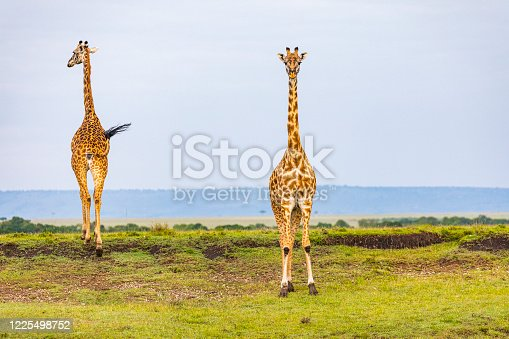 Giraffes standing tall in the plains of Africa with blue sky background. Photographed in the Maasai Mara, Kenya.