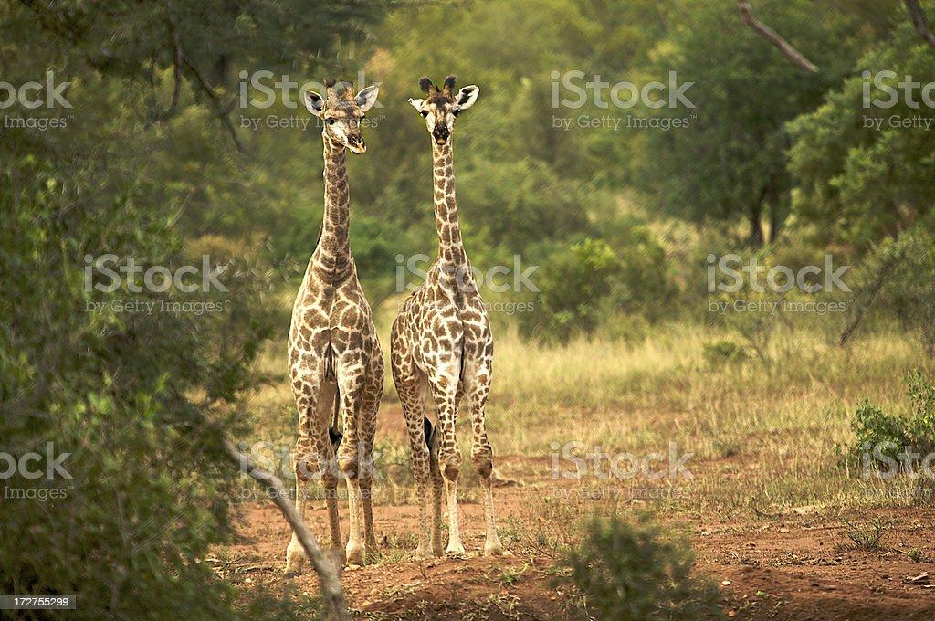 Giraffes twin couple at Sabi Sand royalty-free stock photo