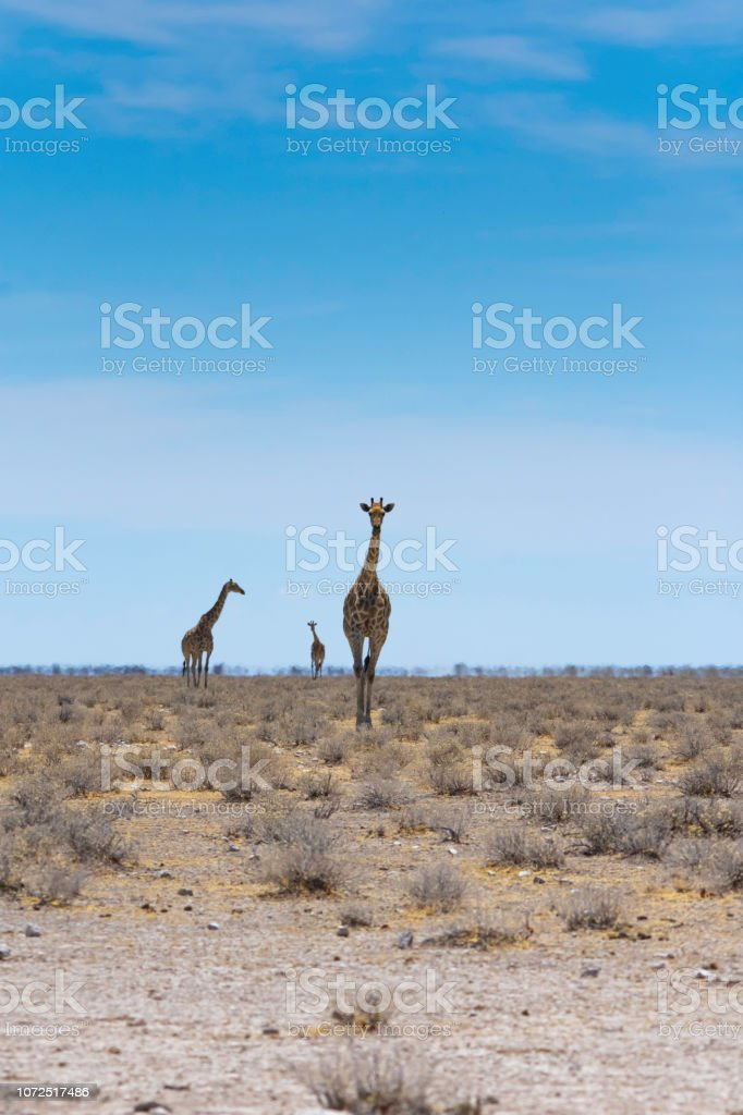 Giraffes walk toward the camera. stock photo