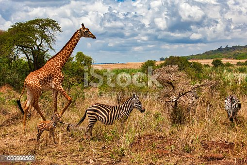 Giraffes walking at wild with mother Zebra and her baby
