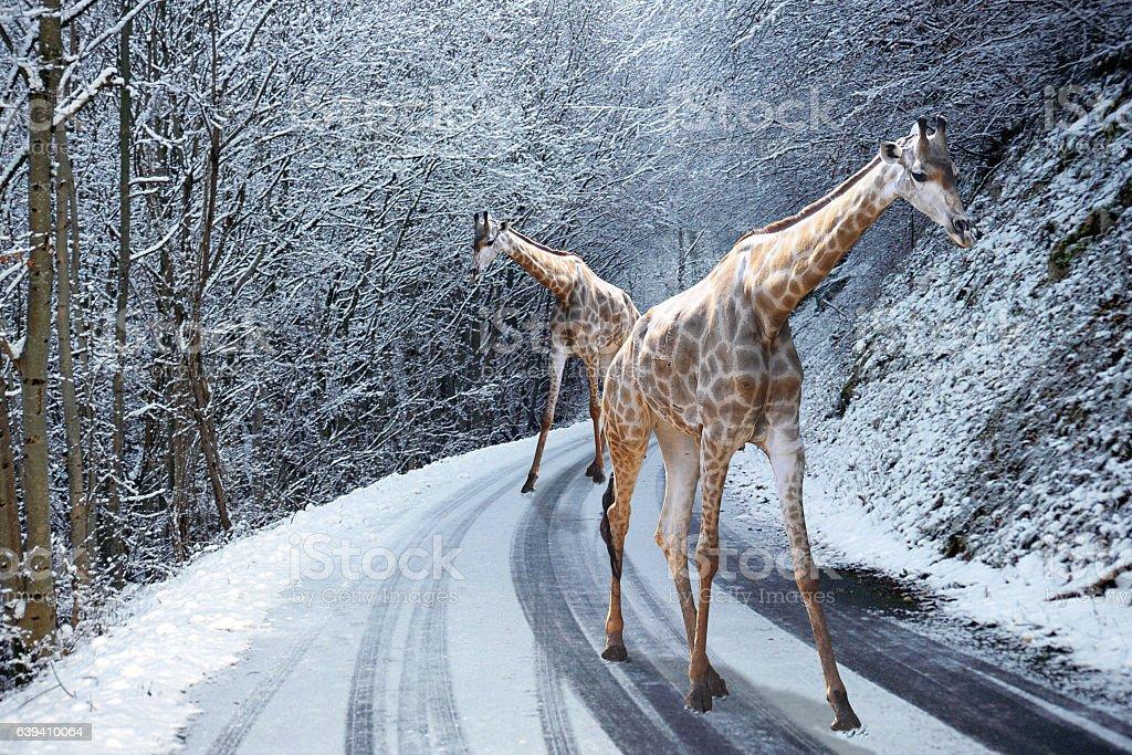 Giraffes walking on Snowed road in winter – Foto