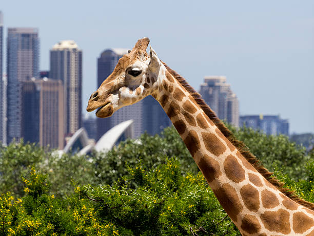 Giraffes with a fabulous view of Sydney stock photo