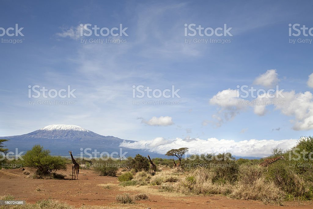 Giraffs and Mt. Kilimanjaro stock photo