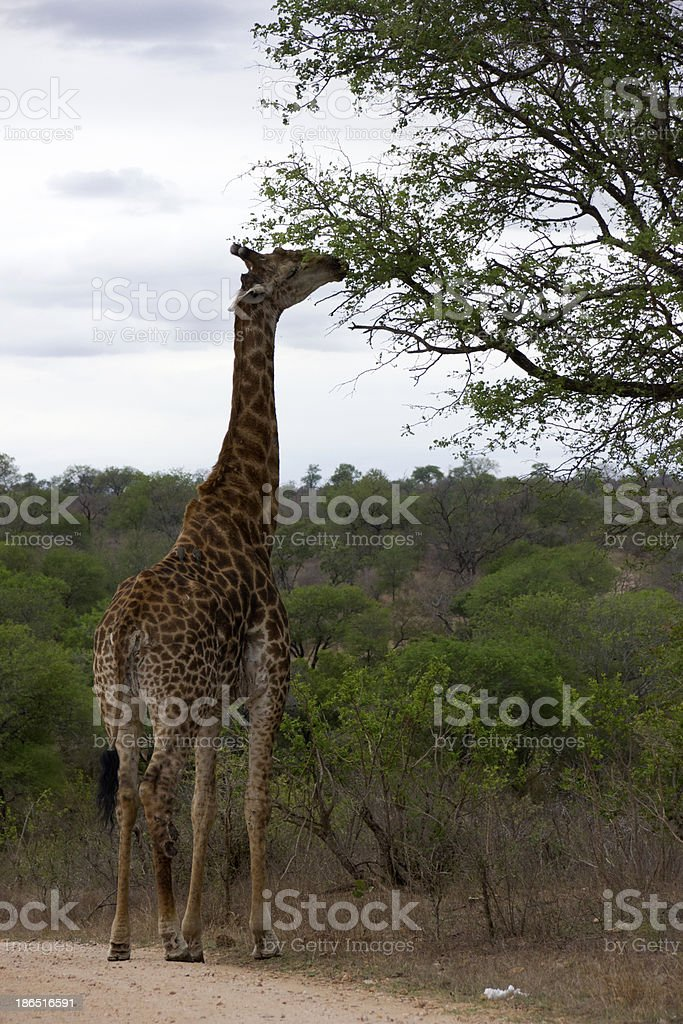 Giragge stretching its long neck royalty-free stock photo