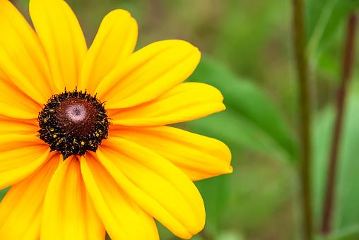 Girasol is a flower shot close-up. Macro shooting.