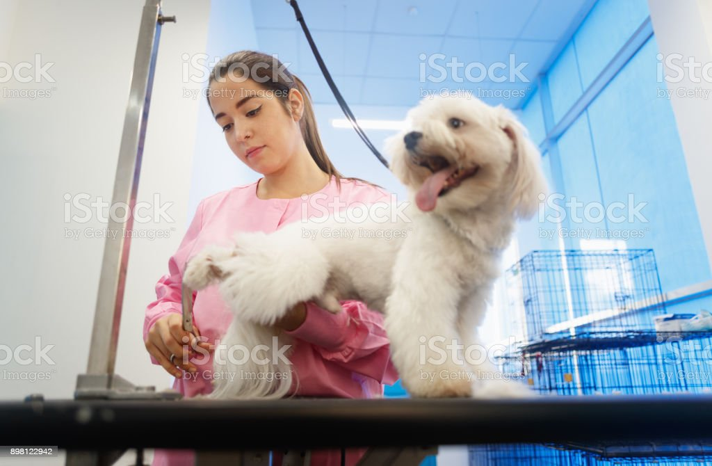 Girl At Work In Pet Store And Grooming Dog stock photo