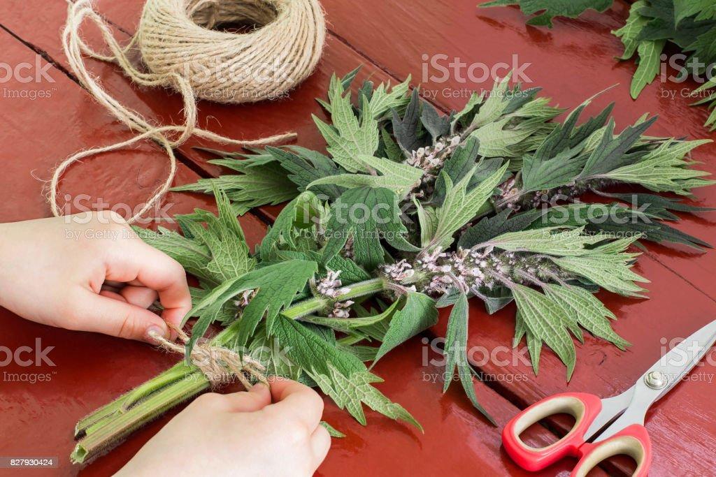 Girl bind motherwort (Leonurus cardiaca) in bundles stock photo