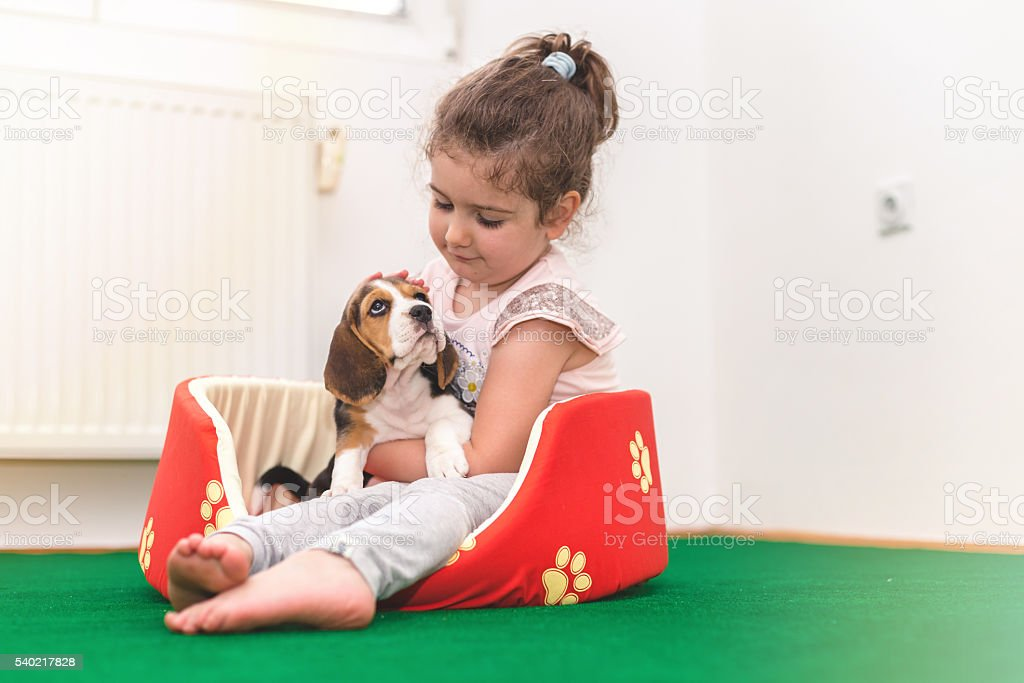 girl cuddle her pet beagle in dog bed stock photo