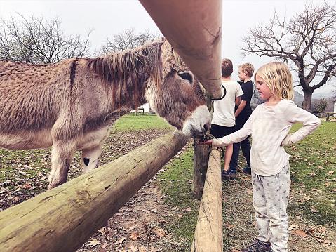 Girl feeding a donkey straw