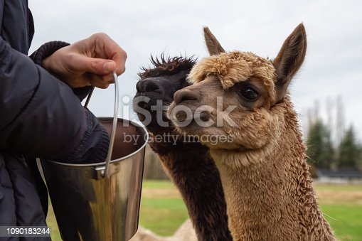 Girl feeding food from hand to an Alpaca in a farm during a cloudy day.