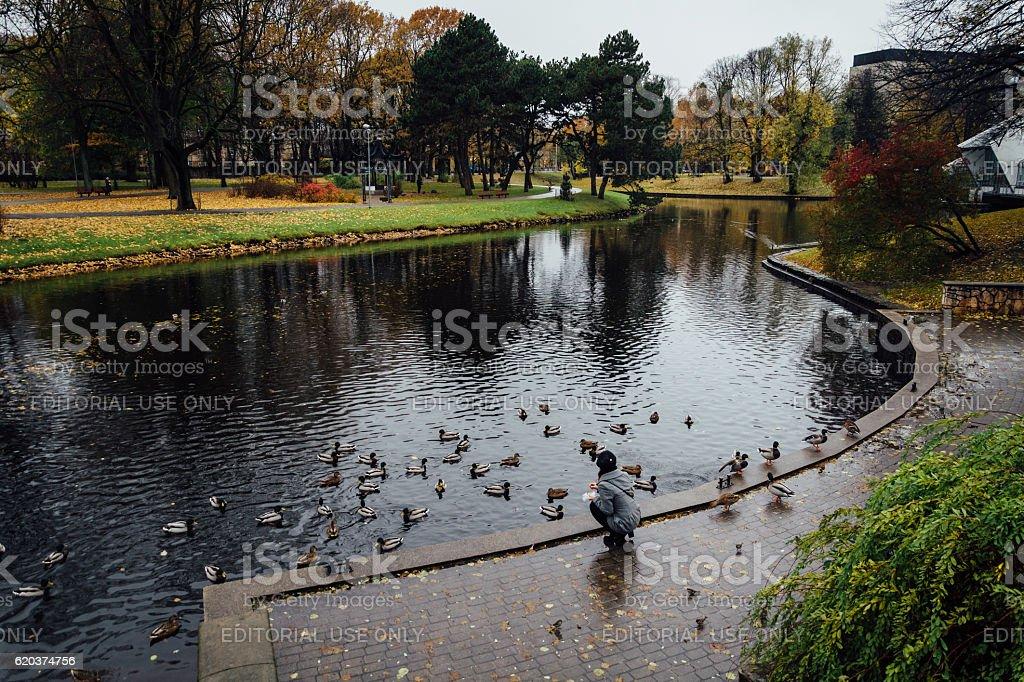 Girl feeding ducks in one of Riga's parks zbiór zdjęć royalty-free