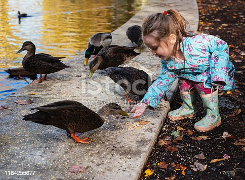 A two year old girl feeding ducks at a public park on an October afternoon.