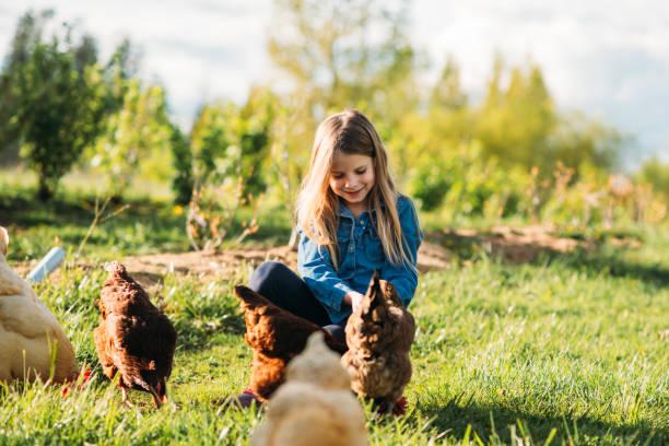 flicka som matar höns på gården - höna bildbanksfoton och bilder