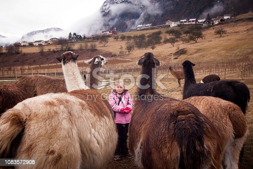 Young girl in pink coat feeds llamas out of her gloved hands on a farm on a winter day, Skjolden, Sognefjord, Norway, Europe