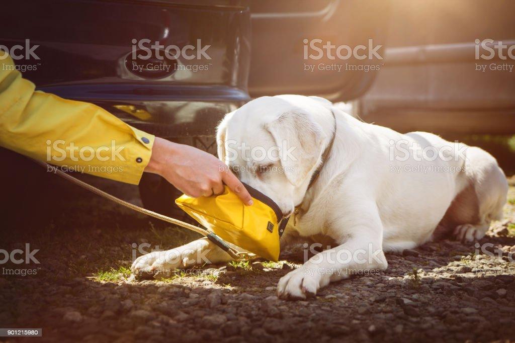 Eine Mädchen gibt einem jungen Labrador Retriever Hund Welpen etwas Wasser zu trinken wegen der Hitze im Auto während der Fahrt – Foto